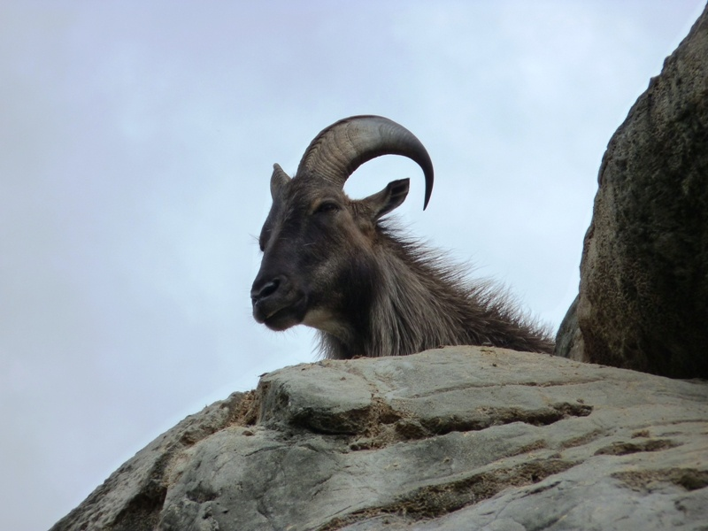 Himalayan Tahr cred. M.Boulton (flickr)