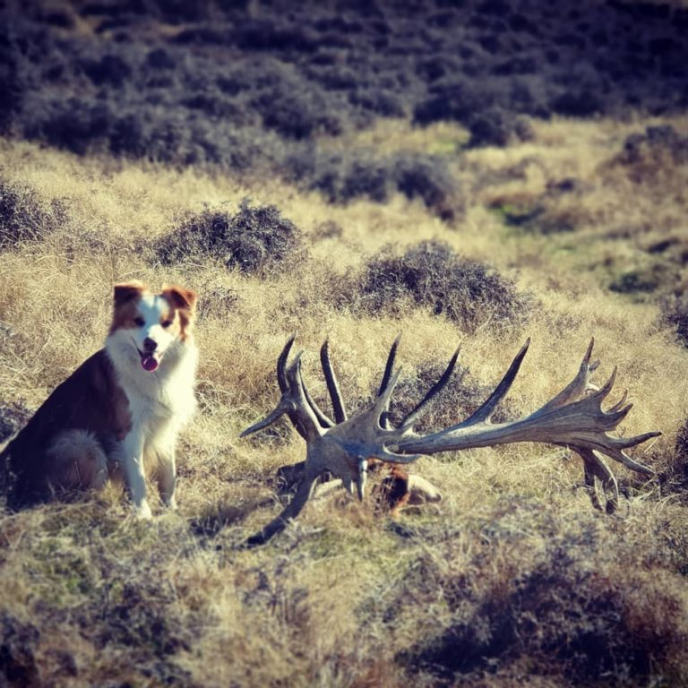 dog with new zealand red stag guided hunt