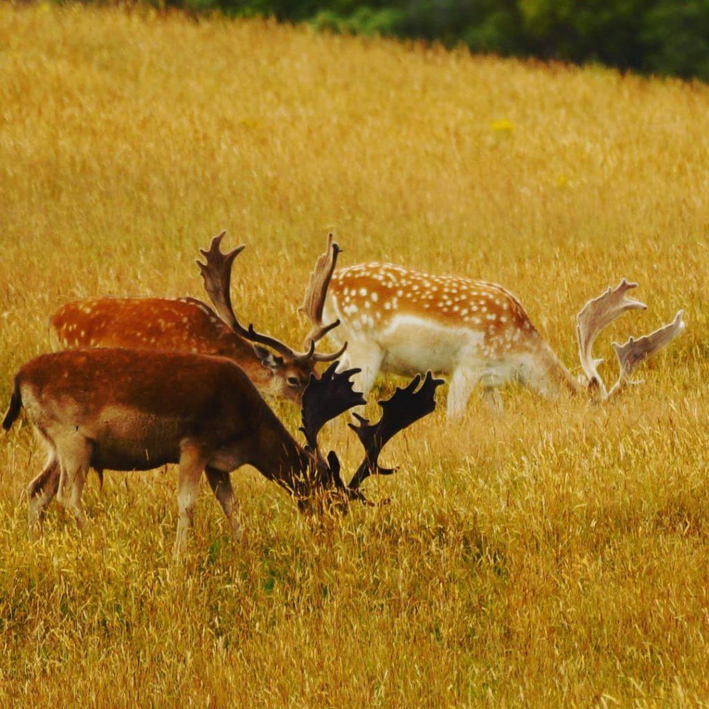 Queenstown New Zealand fallow buck guided hunts nz