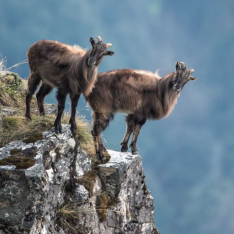 new zealand hunting himalayan tahr