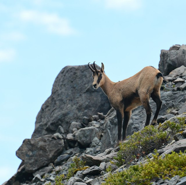 nz chamois hunting guides outfitter new zealand