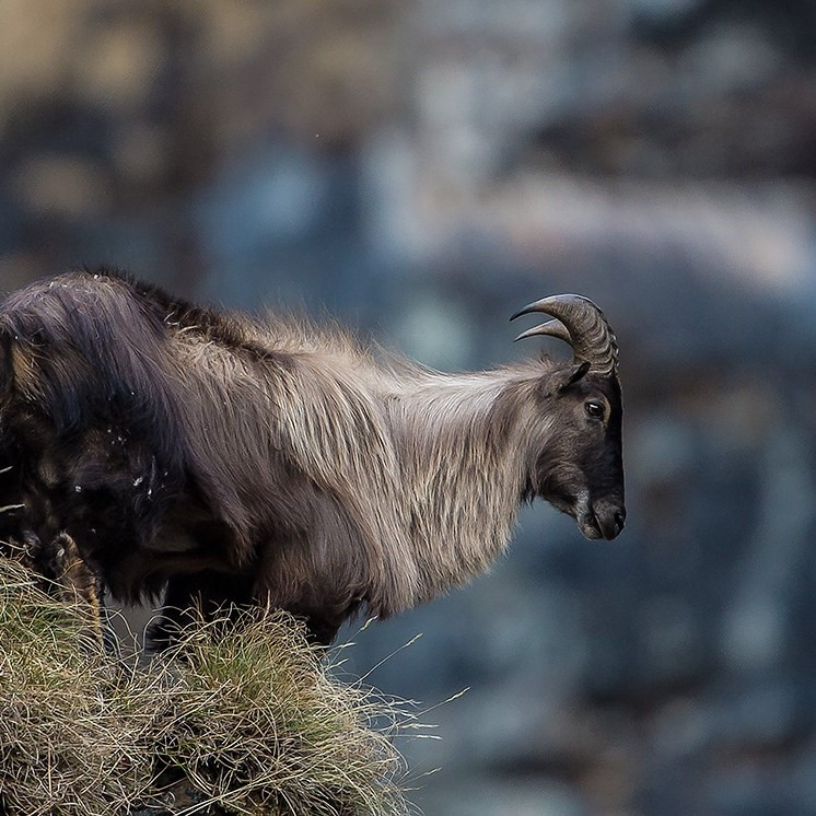 himalayan tahr hunt price new zeland
