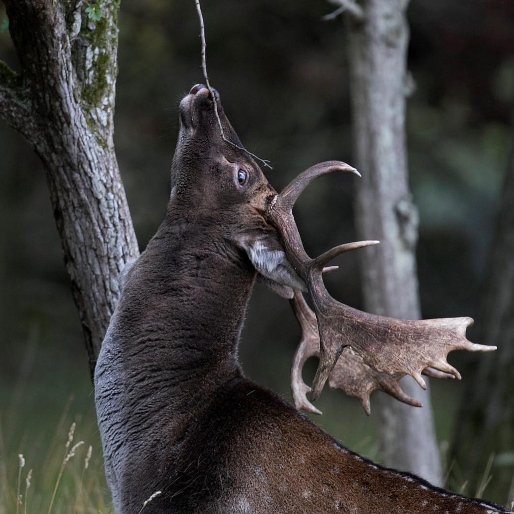 fallow deer new zealand central otago (2)