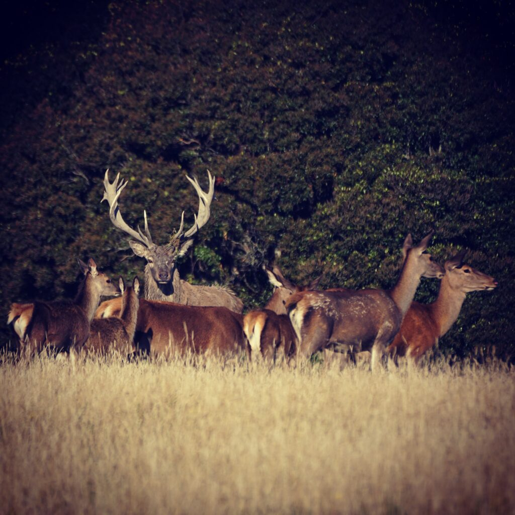 new zealand red stag hunt nz hunting guides outfitters