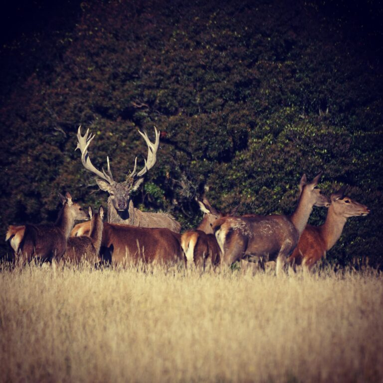 new zealand stag hunt nz hunting guides outfitters